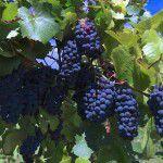 Праздник урожая на виноградниках Arba Wine!